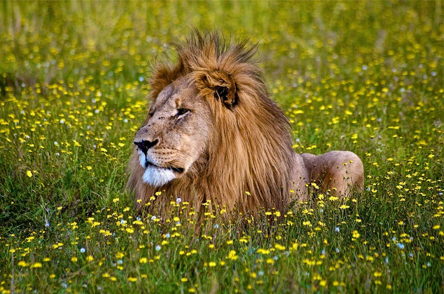 Lion between the Daisies by Retief Gerber - Animals Lions, Tigers & Big Cats (  )
