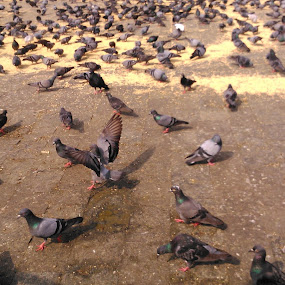 Pegions !!!~! by Karthish Waran - Animals Birds ( mumbai, pegions, phone, taj hotel, sony xperia l )