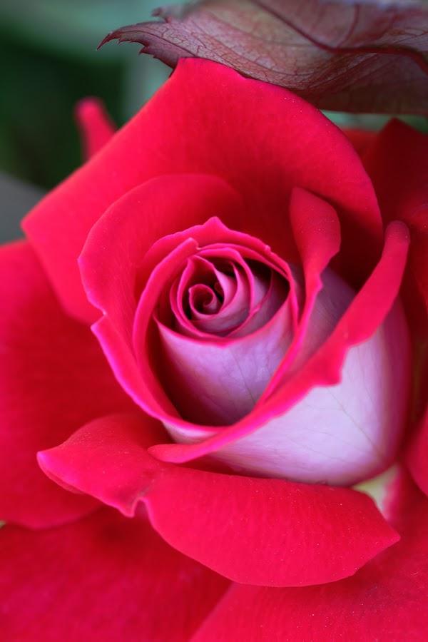 Rose. by Kiran Nasir - Nature Up Close Flowers - 2011-2013 ( rose, macro, red, details, flower,  )