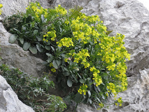 Photo: Brassica balearica
