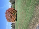 Photo: Maple tree