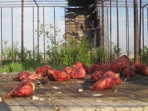 Photo: Chicken heads, it's what's for dinner