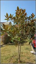 Photo: Magnolia grandiflora, din Turda, Piata 1 Decembrie 1918, spatiu verde - 2018.10.11