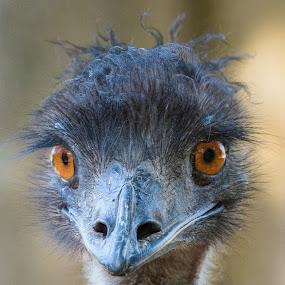 by Steve Hunt - Animals Birds ( queensland, australia, emu,  )