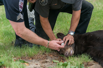 Photo: Putting drops in bear's eyes so they don't dry out.