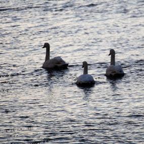 Winterswans  by Sigbjørn Berg - Animals Birds ( swans, winter, swan, vesterålen, northern norway )