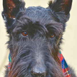 Jack, The Lad by Victoria Eversole - Animals - Dogs Portraits ( portraits of dogs, scottish terrier, animals )