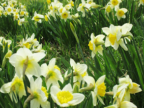 Photo: Groups of daffodils at Wegerzyn Gardens in Dayton, Ohio.