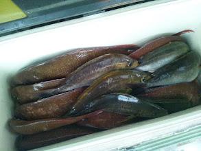 Photo: そして、ケタ違いの釣果でした!真鯛16匹、イサキ7匹でしたかね?イノウエさんさすがでした!クーラーBOX2個に収まりました。写真は1個しか撮ってませんが・・・。