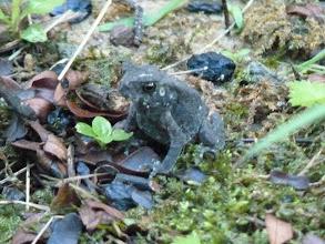Photo: 蟾蜍長大了  融入草叢  很難看出來是蟾蜍