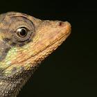 Roux's forest lizard