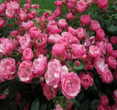 Rose angela läheb hästi. Rosa Angelica: Amber Favorite Florists