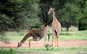 Photo: Giraffe, Marakele National Park, South Africa. #WildlifeWednesday