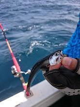 Photo: カタクチイワシです! 水面も鳥が騒いでますし、魚群探知機の反応もいいのですが・・・全く食いません。