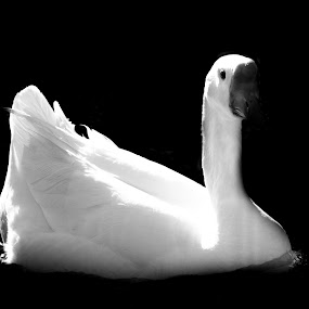 White Beauty by Candra Creason - Animals Birds ( b&w, white, high contrast, duck, black, ducks )