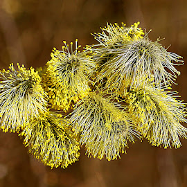 Shaggy Catkins by Chrissie Barrow - Nature Up Close Other Natural Objects ( nature, closeup, pollen, tree, yellow, catkins, brown )