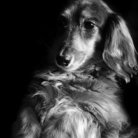 Abigail by Sam Reed - Animals - Dogs Portraits ( black and white, dachshund, puppy, cute, dog,  )