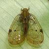 Net-winged hopper