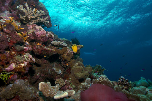 The wall dropoff at Elbow Point (near Uepi in the Solomon Islands) is a magical spot with rich coral growth, anemones, colorful fish and clear blue water.