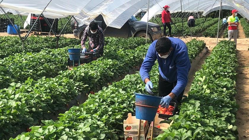 Empieza a escasear la mano de obra en el sector agrícola