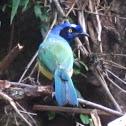 Green Jay or Inca Jay