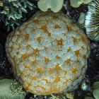 Cushion Starfish