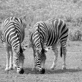 Synchronised zebras by Ruth Holt - Animals Other Mammals ( zebras, cornwall, newquay, stripey, zoo, newquay zoo )