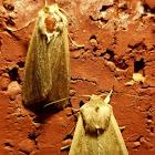 True Armyworm Moths