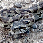 South African Rock Python