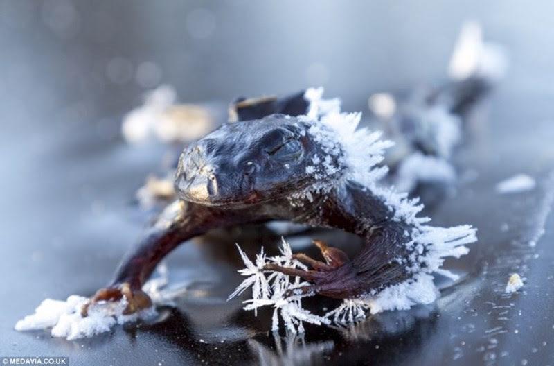 Frio de rachar, congela peixes, alces e até sapos!