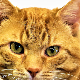 Webster by Linda    L Tatler - Animals - Cats Portraits ( feline, orangetabby, cat, tabby, pet,  )