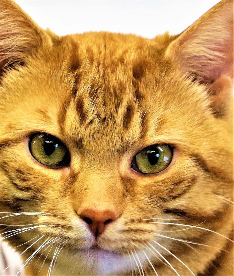 Webster by Linda    L Tatler - Animals - Cats Portraits ( feline, orangetabby, cat, tabby, pet,  )