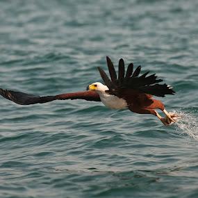 Catch! by Robert van Brug - Animals Birds