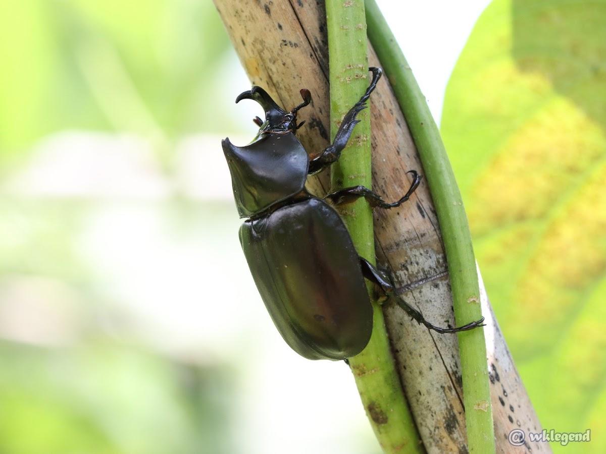 Brown rhinoceros beetle