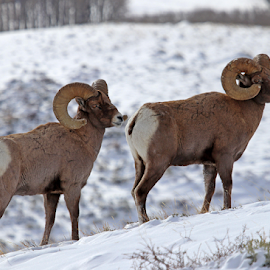 Wyoming Rams by Kirby Hornbeck - Animals Other Mammals ( animals, winter, nature, wyoming, bighorns, rams, wildlife, sheep )