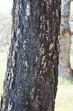 Photo: tree trunk in which brids have cached seeds