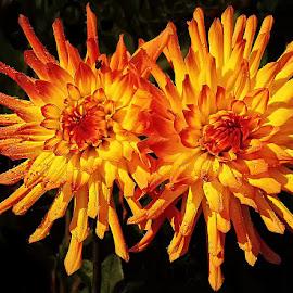 Duo de dalhias by Gérard CHATENET - Flowers Flower Gardens