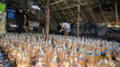 Photo: Mushroom Farm at Chai Prakan