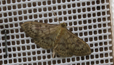 Photo: Pleuroptya ruralis    Lepidoptera > Crambidae