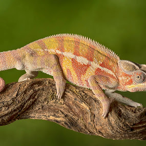 by Val Saxby - Animals Reptiles