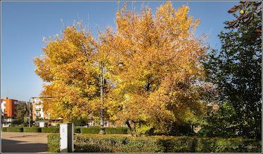 Photo: Arțar, Paltin de câmp, Jugastru (Acer platanoides, Acer campester) - din Turda, Piata 1 Decembrie 1918 - 2019.10.09
