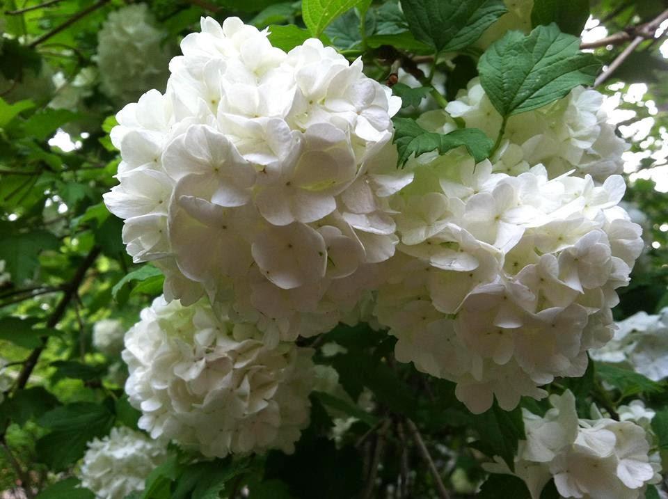 Photo: Snowball Flower