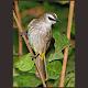 Download Kicau Burung Trucukan Super For PC Windows and Mac