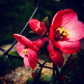 Red flowers by Nat Bolfan-Stosic - Flowers Flower Gardens ( fence, red, drops, flowers, garden )