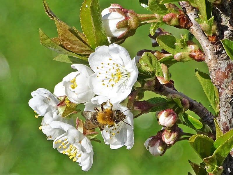 2019-04-15 LüchowSss Garten 10-11 Uhr (76) vielleicht eine männliche Rotpelzige Sandbiene Andrena fulva + Steinweichselblüten
