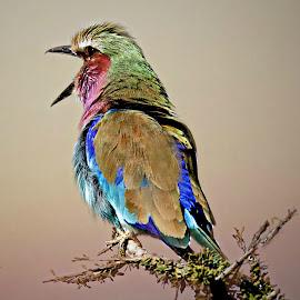 Singing Roller by Pieter J de Villiers - Animals Birds