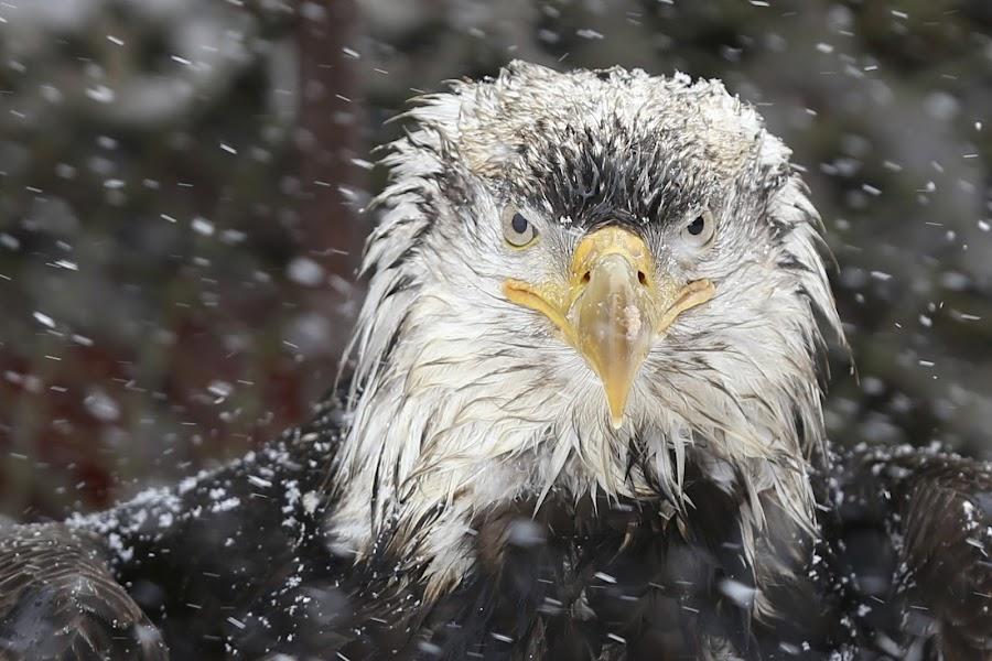 Rootok the wise by Capt Jack - Animals Birds ( eagle clan, eagle, mystery, nature, snow, alaska, wonder, bald eagle )