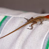 Red Headed Brown Anole