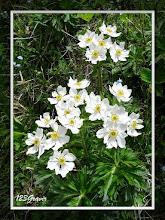 Photo: Anémone à feuilles de Narcisse, Anemone narcissiflora subsp. narcissiflora