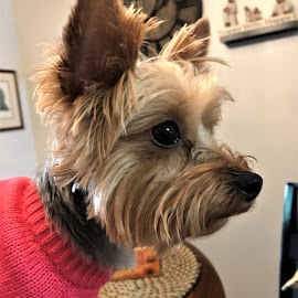 Paris in pink by Janice Burnett - Animals - Dogs Portraits ( pink, yorkshire terrier, yorkie, sweater, pet )